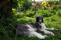 Borzoi hound dog Royalty Free Stock Photo
