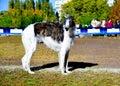 Borzoi Russian dog.