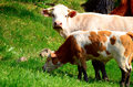 Bos taurus and a calf cows on grazing Stock Photo