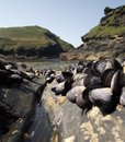 Boscastle: Shellfish and Headland Stock Photo