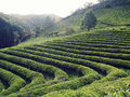 Boseong green tea plantation south korea farm in beautiful landscape with hills and plants organised in lines summer time Royalty Free Stock Images