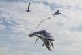 Bosphorus seagull Royalty Free Stock Photo
