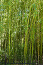 Bosque de bambu Foto de Stock Royalty Free