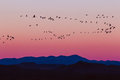 Bosque del Apache Snow Geese Sunrise Royalty Free Stock Photo