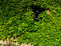Boston ivy Royalty Free Stock Photography