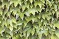 Boston ivy climbing vines background Immagini Stock