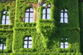 Boston ivy flower covers building