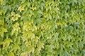 Boston ivy, japanese creeper