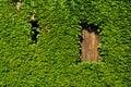 Boston ivy masonry house overgrown rambling plant Stock Photo