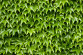 Boston ivy texture Royalty Free Stock Photo
