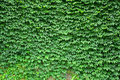 Boston ivy texture