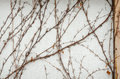 Boston ivy on the wall in wintertime background Royalty Free Stock Photo