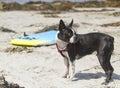 Boston Terrier On The Beach Royalty Free Stock Photo