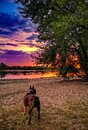 Boston Terrier dog  at the sand beach  looking on the river Rhein  at sunset with sunlreflections on the water and tree with sky Royalty Free Stock Photo