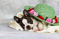 Boston terrier lay with flower hat and white towel Royalty Free Stock Images