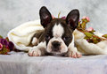 Boston terrier lay with flower string Stock Photo