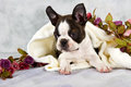 Boston terrier lay flower string white towel studio Royalty Free Stock Images