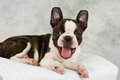 Boston terrier lying on towels white smile Royalty Free Stock Photography