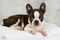 Boston terrier lying on white towels studio shoot Royalty Free Stock Photos