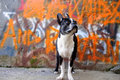 Boston Terrier and Orange Graffiti 2 Royalty Free Stock Images