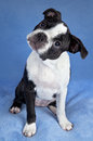Boston terrier puppy Royalty Free Stock Photo