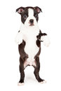 Boston terrier puppy dancing on hind legs cute seven week old dog standing up begging place your product in his paws Royalty Free Stock Photos