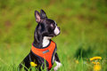 Boston Terrier puppy in the meadow Royalty Free Stock Photo