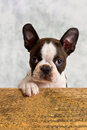 Boston terrier puppy play wood box studio cute Stock Photos