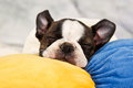Boston terrier puppy sleep on soft toy tired peaceful Royalty Free Stock Image