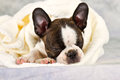 Boston terrier sleeping in white towels studio shoot Stock Photo