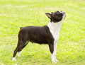 Boston terrier a small young beautiful black and white dog standing on the lawn aka bull terriers are highly Royalty Free Stock Photography