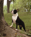 Boston terrier a standing on a big tree root in a proud attitude shot on a natural background Stock Images