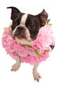 Boston Terrier wearing Lei Royalty Free Stock Photos