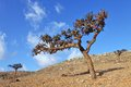 Boswellia tree frankincense tree in the socotra island yemen Royalty Free Stock Images