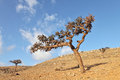 Boswellia tree frankincense tree in the socotra island yemen Stock Photo