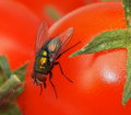 Bot fly on tomato with dark red eyes walking Royalty Free Stock Photo