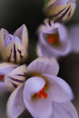 Botanical crocus flower with soft focus Royalty Free Stock Photo