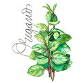 Botanical drawing of a oregano. Watercolor beautiful illustration of culinary herbs used for cooking and garnish