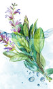 Botanical drawing of a Sage in water with bubbles. Watercolor beautiful illustration of culinary herbs used for cooking