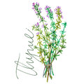 Botanical drawing of a thyme. Watercolor beautiful illustration of culinary herbs used for cooking and garnish. Isolated