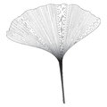 Botanical series Elegant Ginkgo leaf in sketch style in black and white on white background