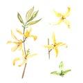 Botanical watercolor illustration of forsythia isolated on white background