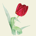 Botanical watercolor illustration of red tulip with green leaves on light olive background