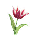 Botanical watercolor illustration of red tulip with white edges isolated on white background Royalty Free Stock Photo