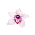 Botanical watercolor illustration sketch of pink tropical orchid flower on white background