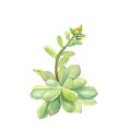 Botanical watercolor illustration of succulent echeveria on white background
