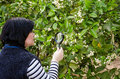 Botanist checking lemon blossom is carefully at with magnifying glass Stock Images