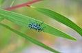 Botany Bay Weevil on leaf