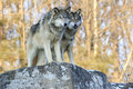 Bothers in paws two timber wolves standing on rocky ledge one with tongue out Stock Images