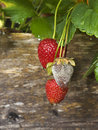 Botrytis Fruit Rot of Strawberries Royalty Free Stock Photo
